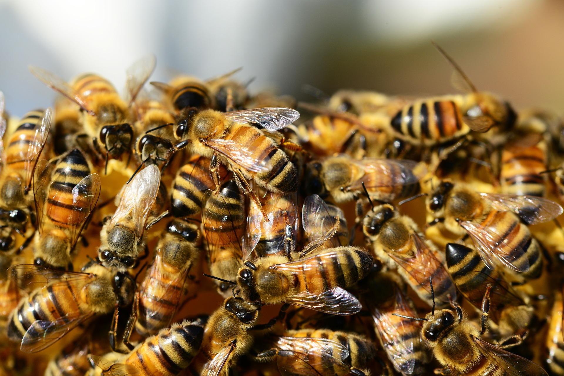 Arbeitsbienen auf den Nordseeinseln