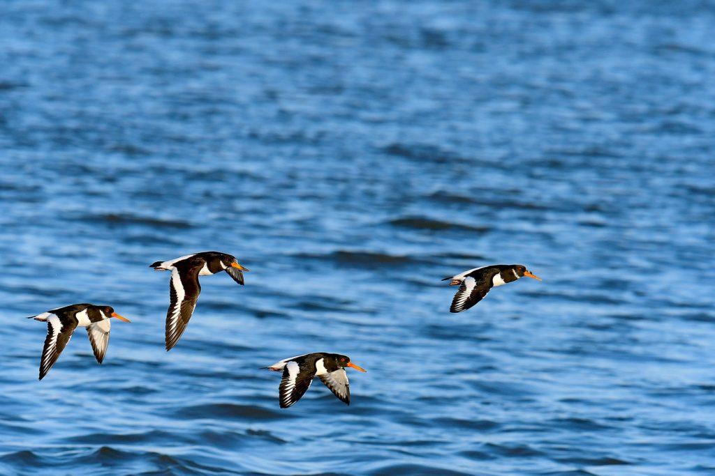 Austernfischer im Flug über Nordsee Wattenmeer