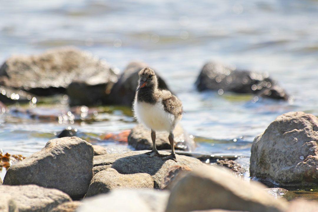 Austernfischer im Wattenmeer ⚓ Vögel der Nordseeinseln