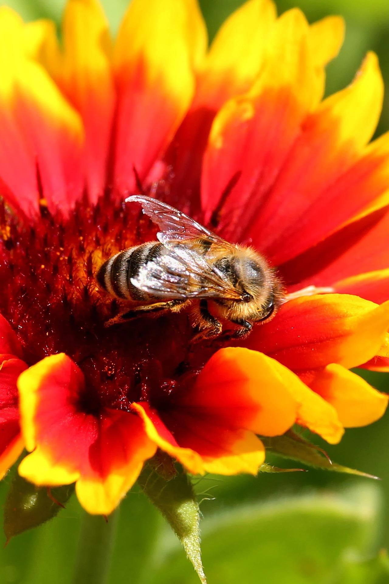 Biene auf Blume der Nordseeinsel
