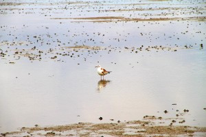 Hochseeklima - Vogel im Wattenmeer Naturschutzgebiet vor den Nordseeinseln