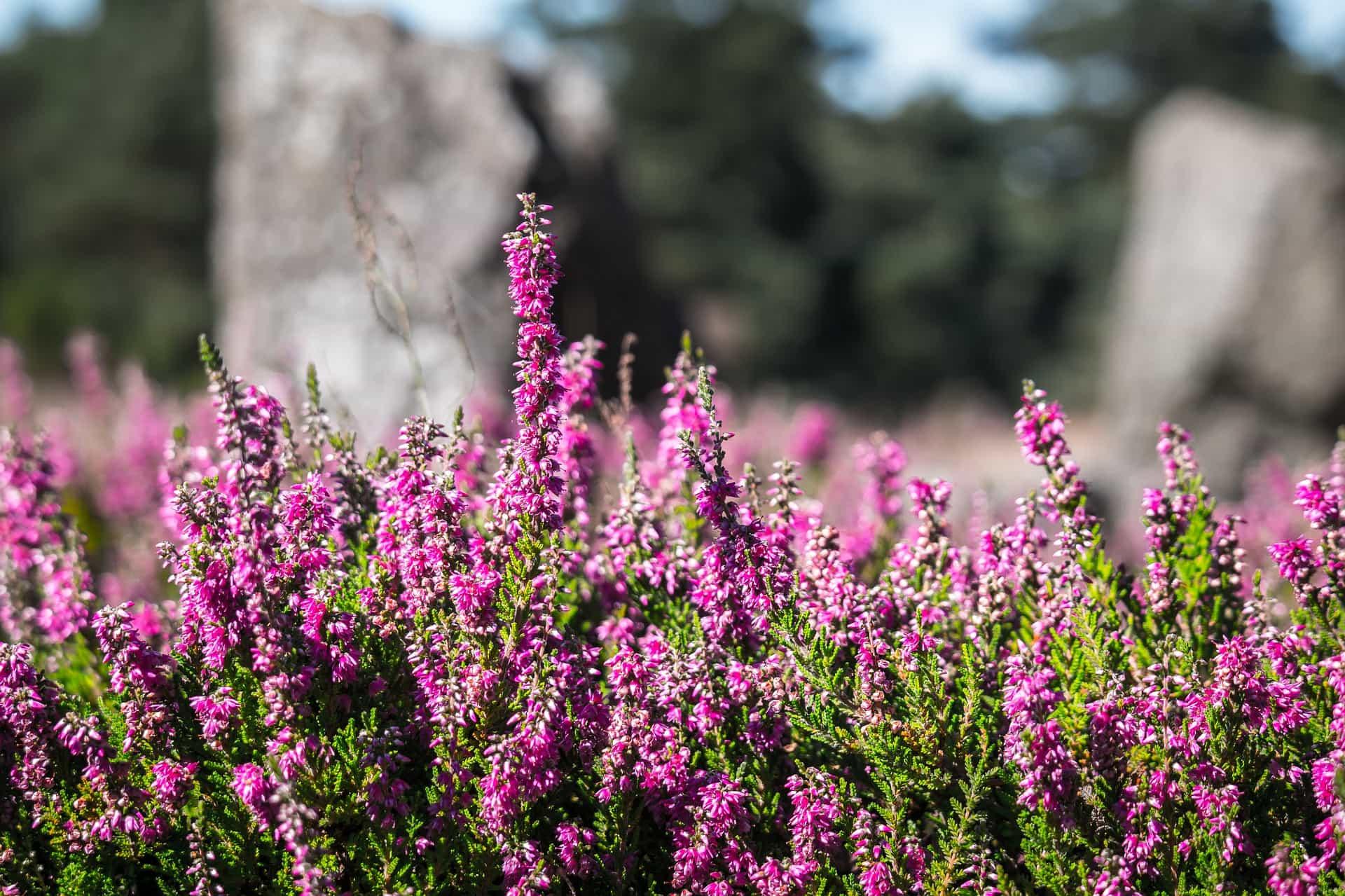 Die Kampener Heide auf Sylt in voller Blüte