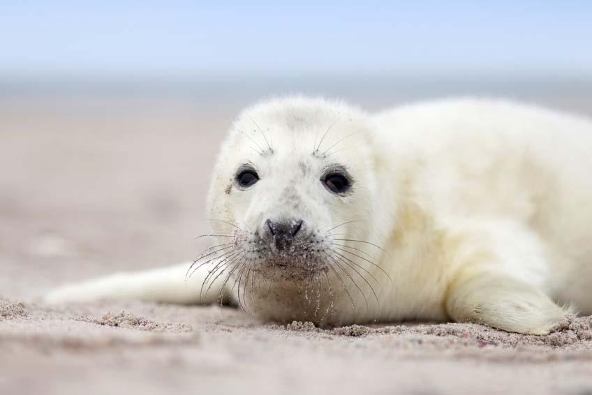Kegelrobben-Rekord auf Helgolands Inseldüne