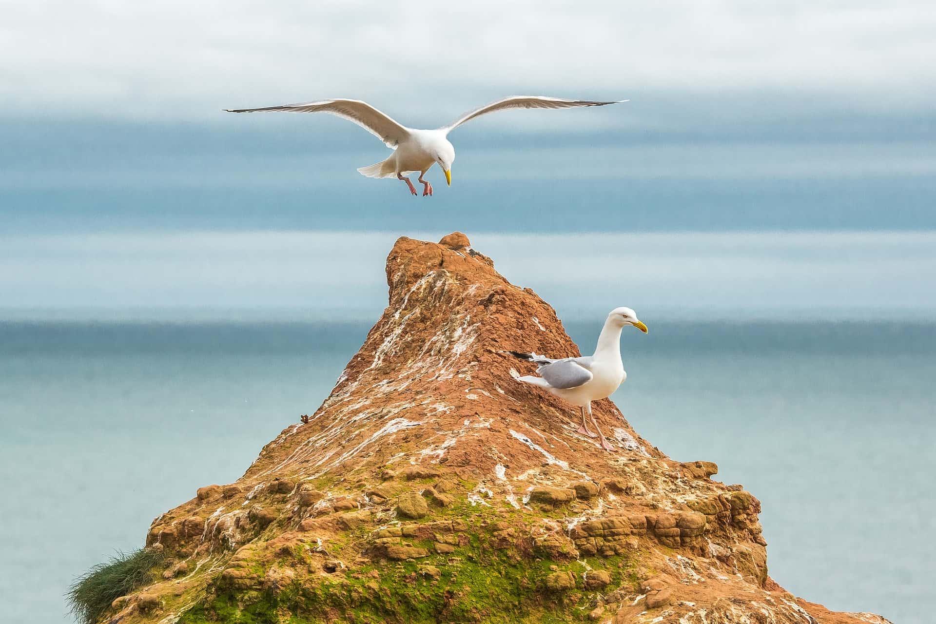 Möwen auf einem Felsen der Nordseeinsel Helgoland