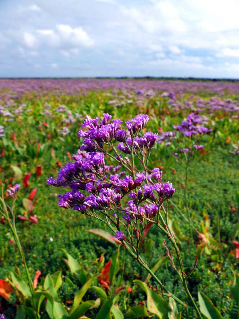 Wundervoll lila blühenden Strandflieder auf Amrums Salzwiesen