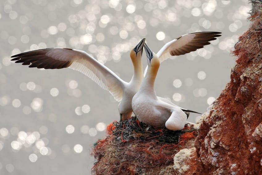 Basstölpel-Pärchen beim Nestbau auf der Nordseeinsel Helgoland