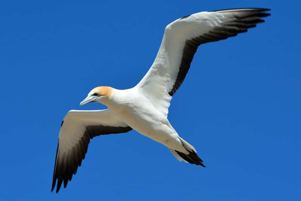 Nordseeinseln Basstölpel im Flug