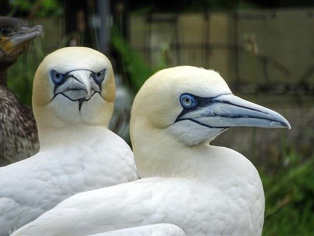 Nordseeinsel Basstölpel mit typischen bläulichen Augen und Schnäbeln