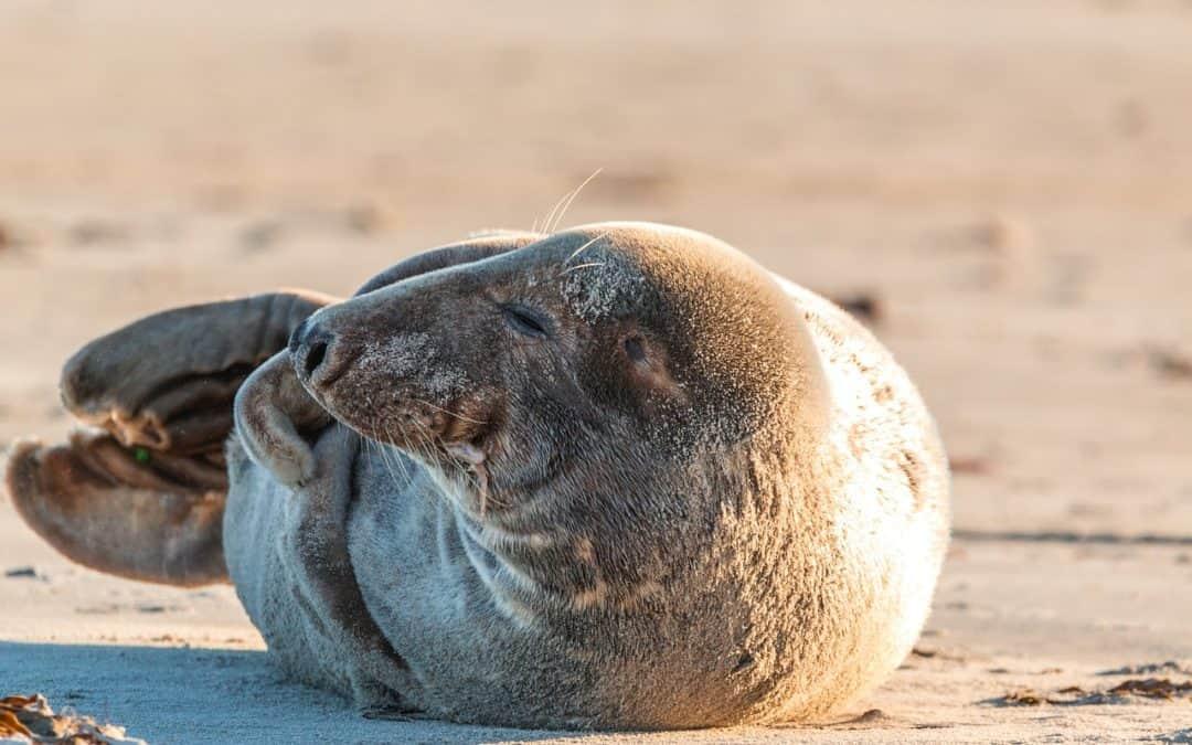Seehund oder Kegelrobbe? Der Kopf macht's…