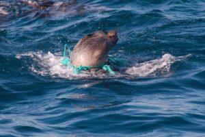 Nordseeinseln-Robbe-gefangen-in-Müll