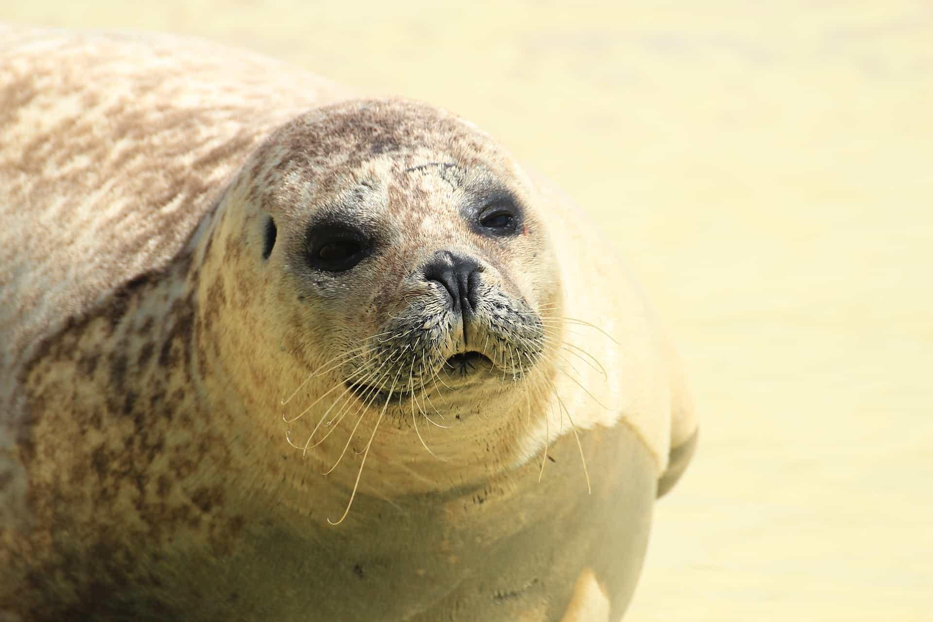 Nordseeinseln-Seehund-am-Strand
