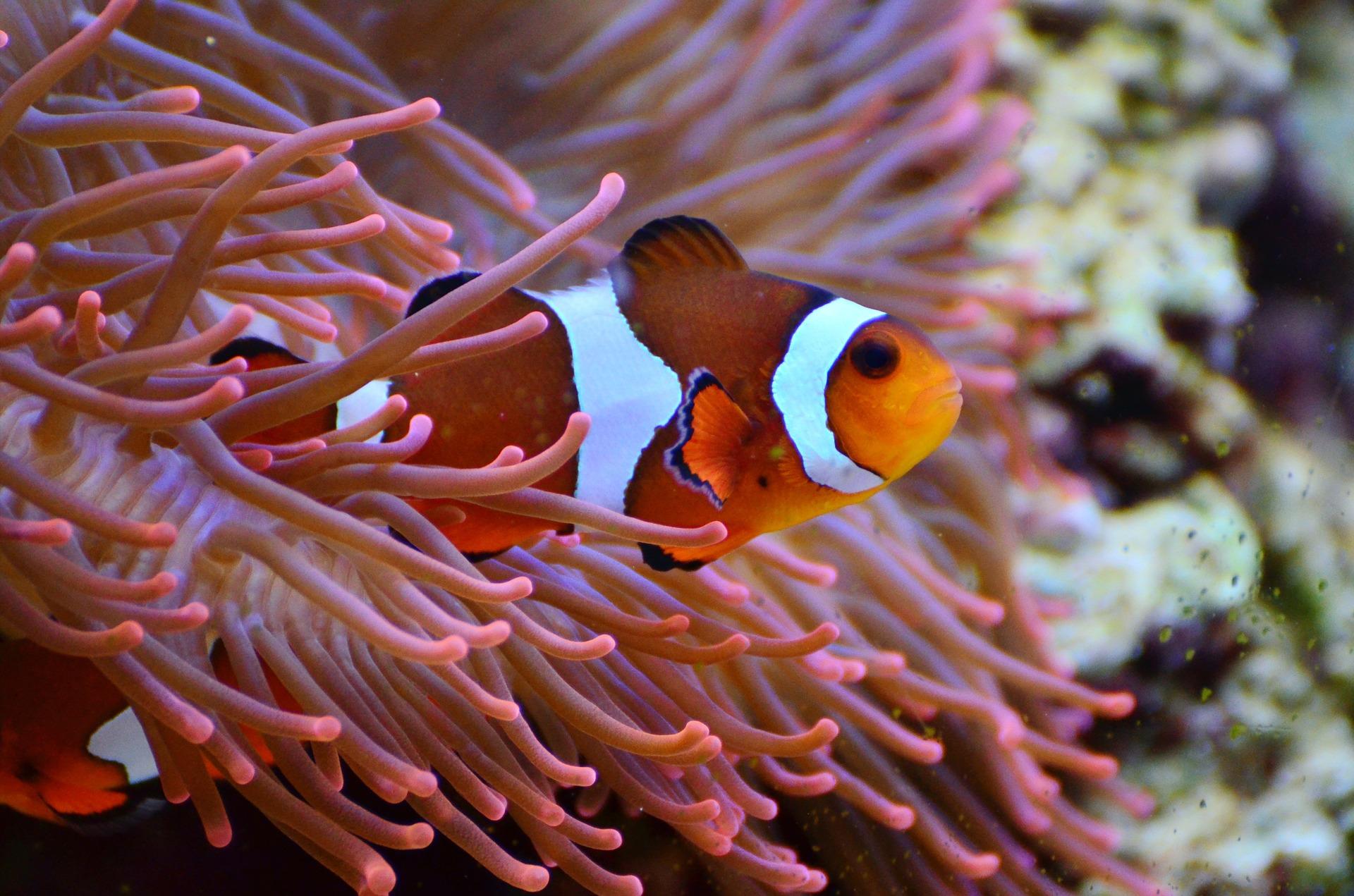 Ein Anemonenfisch des Korallenriffs