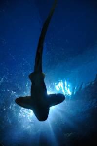 Seltene Ansicht: Ein Hai von unten