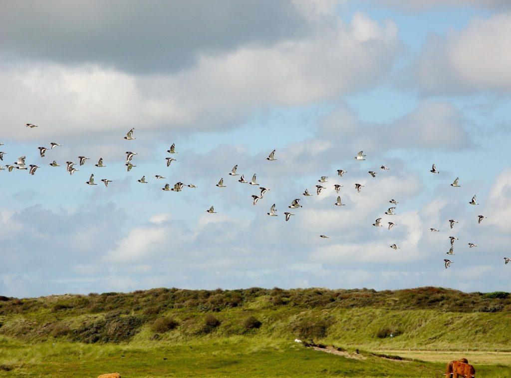 Deutsche Nordseeinseln - Nordseevögel am Himmel über Nordseeinsel